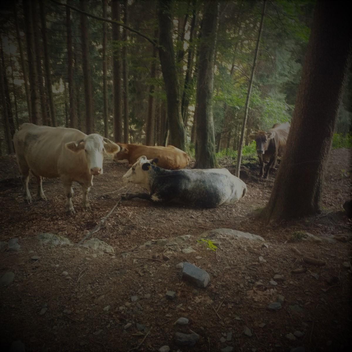 Domande da Mucche